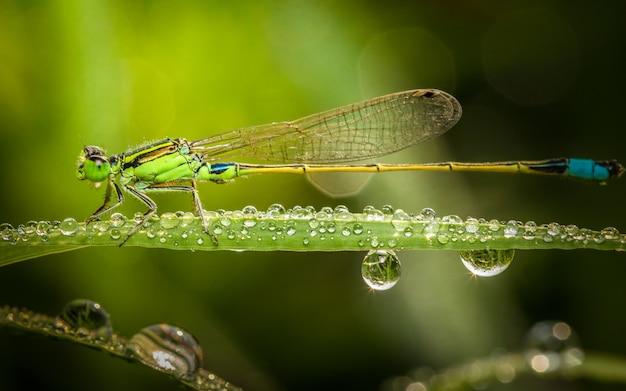 朝の小滴と緑の草の上に小さなトンボのクローズアップ