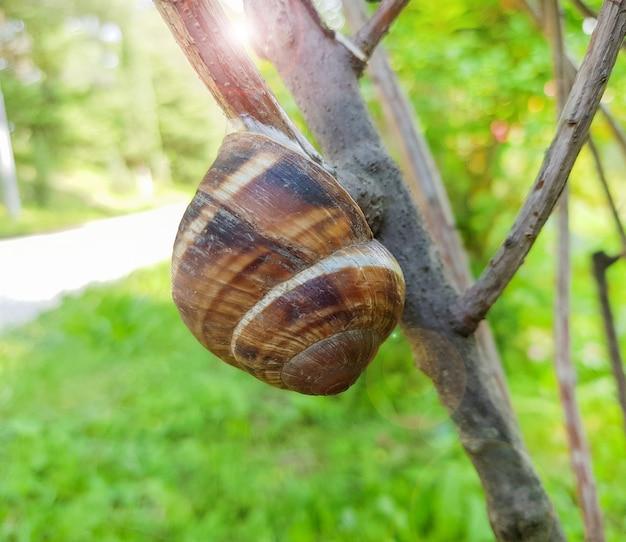 晴れた夏の日に自然を背景に木の枝に座っている小さな庭のカタツムリのクローズアップ。