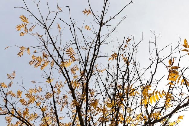 秋の季節の木の少数の黄ばんだ葉のクローズアップ。
