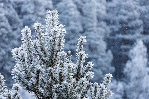 背景の降雪の下でトウヒの雪に覆われた上部のクローズアップ