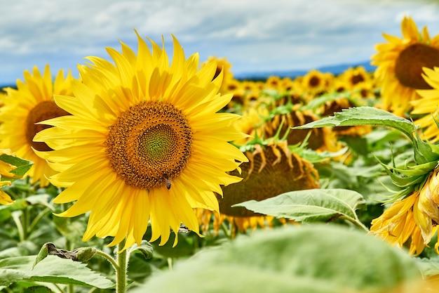 ファームフィールドのヒマワリの花のクローズアップ。ひまわり畑