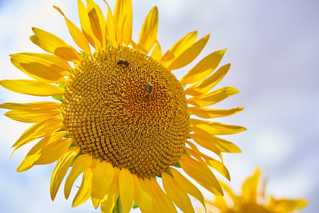 Крупный план подсолнечника с пчелами в поле подсолнухов летом