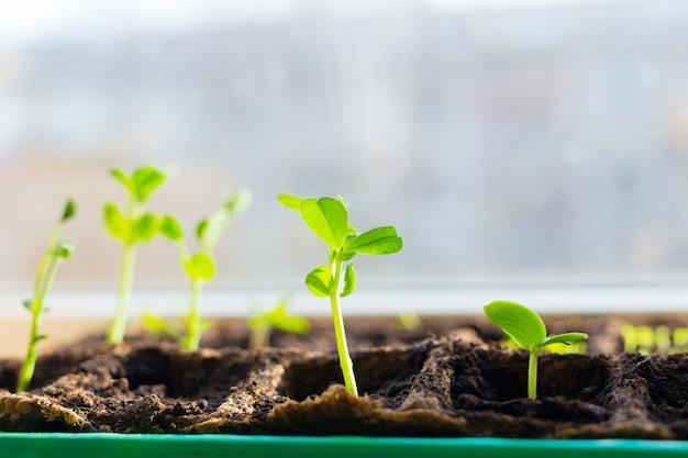 甘いエンドウ豆の芽のクローズアップ。温室の窓枠エンドウ苗のトレイに若い苗。