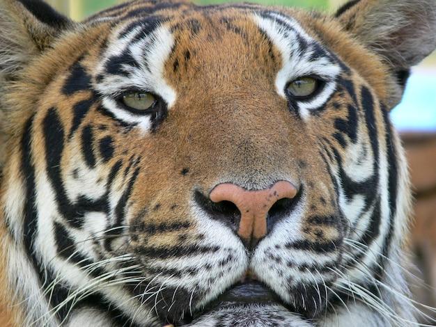 虎の顔のクローズアップ