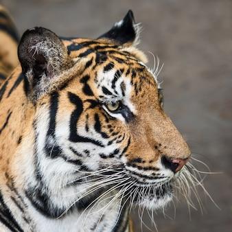 호랑이 얼굴 클로즈업. (panthera tigris corbetti) 자연 서식지, 자연 서식지의 야생 위험한 동물, 태국.