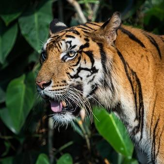 虎の顔のクローズアップ。 (panthera tigris corbetti)