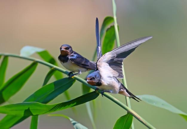 2羽のひよこのツバメのクローズアップは枝に座っています