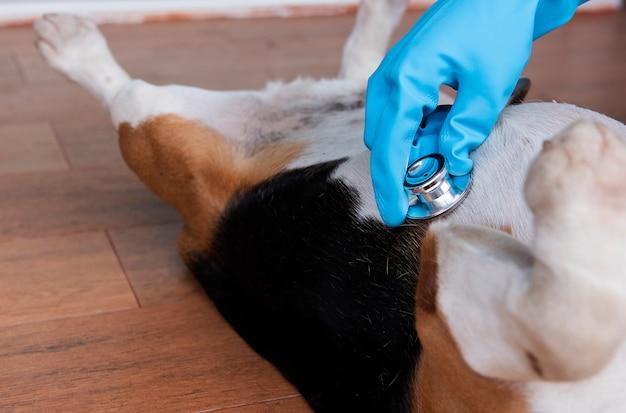 ビーグル犬を調べる獣医の手のクローズアップ