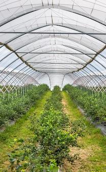 温室、新鮮なブルーベリーがたくさんあるブルーベリー農場、食品のコンセプトのビューのクローズアップ