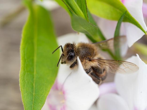 花のハチのクローズアップ。マクロ撮影、セレクティブフォーカス。