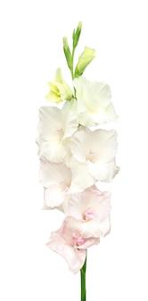 흰색 글라디올러스 꽃의 클로즈업