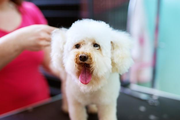 Закройте вверх белой маленькой милой собаки быть парикмахером молодым женским парикмахером.