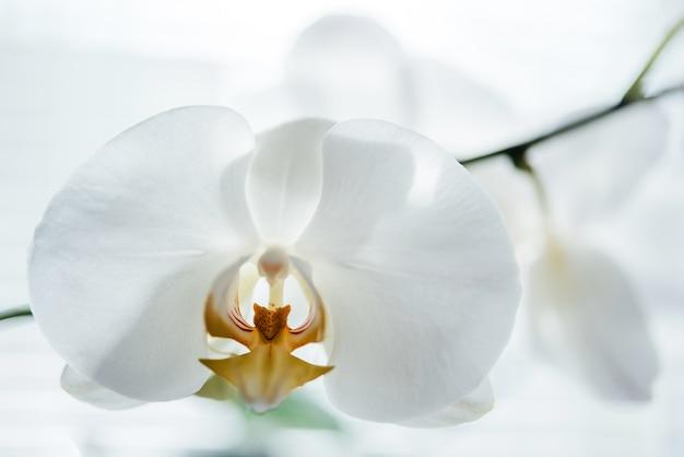 흰색 호접란 흰 난초의 클로즈업, 인기 있는 가정 식물