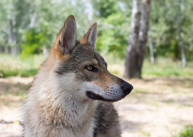 Крупный план волчья собака