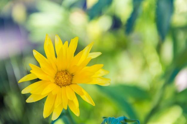 정원의 정원에 피어 있던 노란 금송화의 근접 촬영