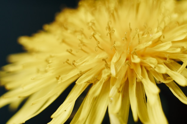 黄色いタンポポの花のクローズアップ