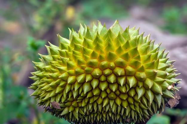 若いドリアンフルーツ(durio zibethinus)のクローズアップ
