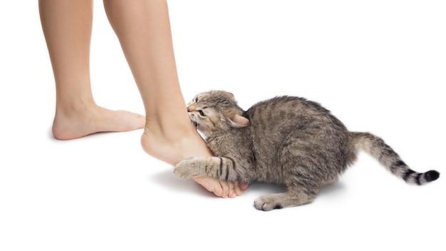 Крупным планом молодой полосатый кот кусает женские ноги милый котенок играет с ногами хозяев, изолированных на белом фоне