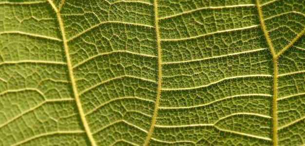 어린 티크(tectona grandis) 잎 정맥의 클로즈업, 배경, 선택된 초점