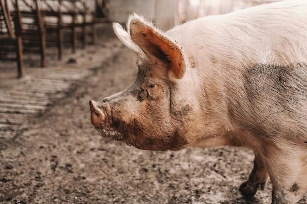 Закройте вверх взрослой свиньи стоя в грязи в коуте. концепция разведения свиней.