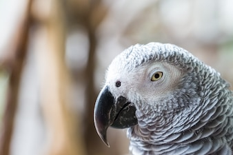 Close up of African Gray Parrot with brown background
