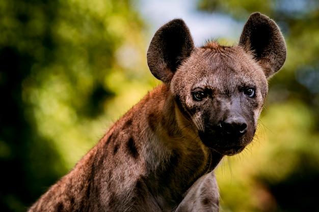 Крупным планом африканской гиены в джунглях