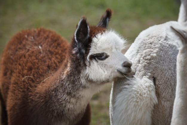 Заделывают альпаки на ферме
