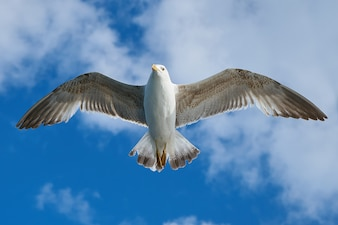 Close-up of amazing seagull flying