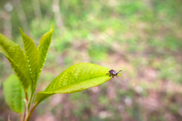 Закройте американский клещ собаки, ожидая на листе растения в природе.