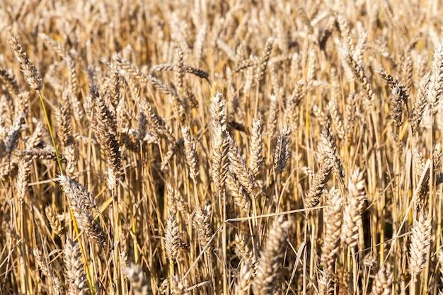 ライ麦が生息する農地の拡大図。穀物は熟していて、特別な機器を収穫する準備ができています。夏のシーズン。浅い被写界深度。