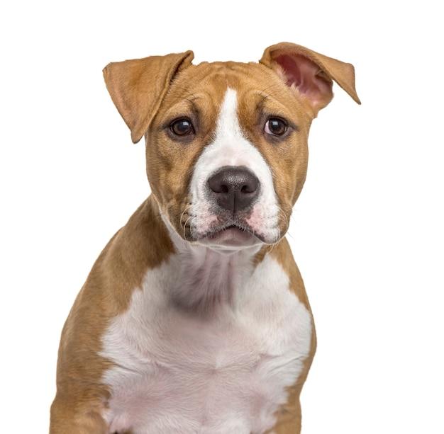 白で隔離されるアメリカンスタッフォードシャーテリアの子犬のクローズアップ