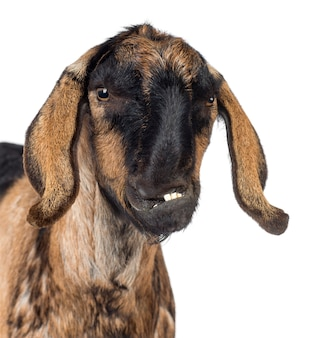 공백에 대해 왜곡 된 턱이있는 앵글로 누비아 염소의 근접