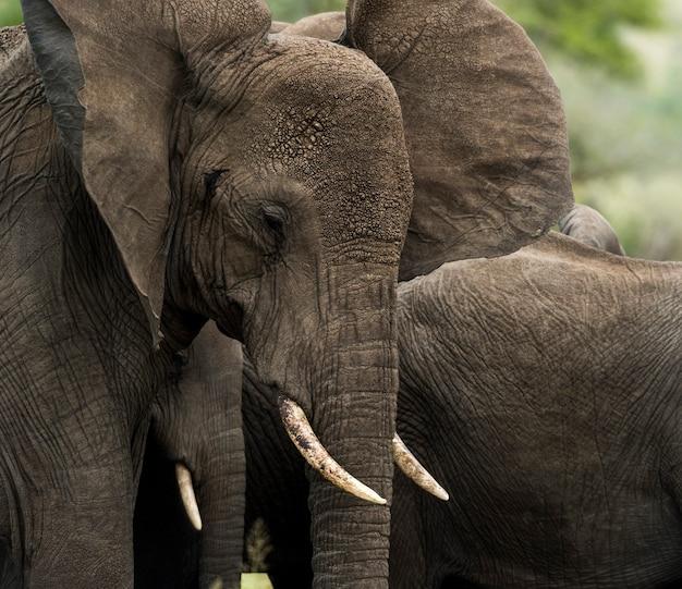 象のクローズアップ、セレンゲティ、タンザニア、アフリカ