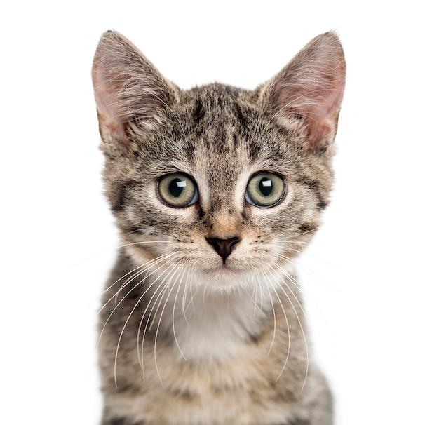 흰색에 고립 된 카메라를 찾고 유럽 쇼트 헤어 고양이의 닫습니다
