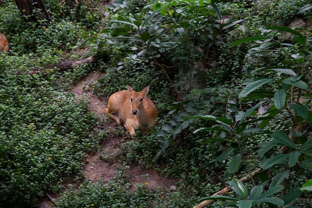 Конец-вверх антилопы в природе.