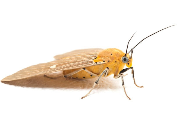 Asota heliconia 나비 클로즈업