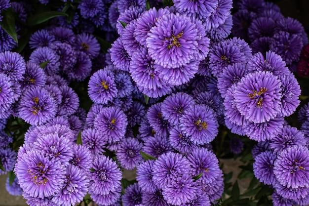 アスターの紫色のアップ