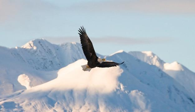 Крупный план белоголового орлана в зимний день Premium Фотографии