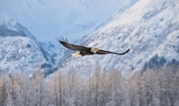 Крупный план белоголового орлана в зимний день