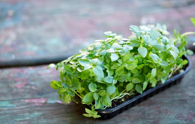 Закройте вверх подсолнечника базилика в коробке, прорастания микрозелени, прорастания семян в домашних условиях, концепции веганского и здорового питания.