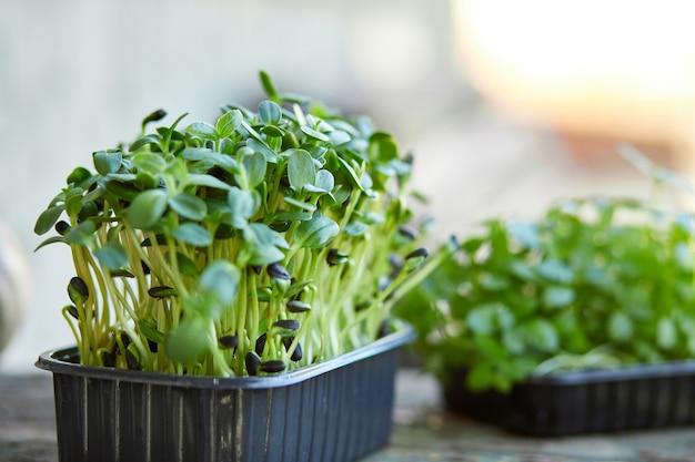 箱の中のバジルヒマワリのクローズアップ、マイクログリーンの発芽、自宅での種子の発芽