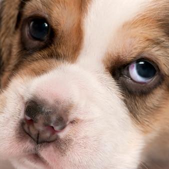 ビーグル子犬、4週齢のクローズアップ