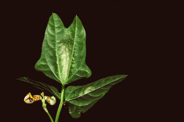 夜の豆の植物の葉のクローズアップ