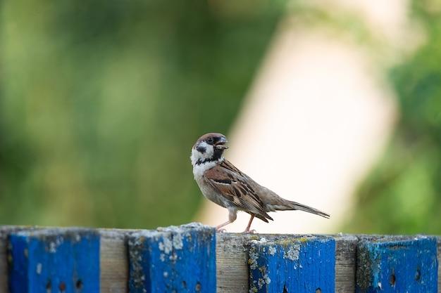 피 나무 나뭇가지에 자리 잡고 아름 다운 갈색 참새의 클로즈업. 야생 동물, 이른 봄의 새, 야외, passeridae