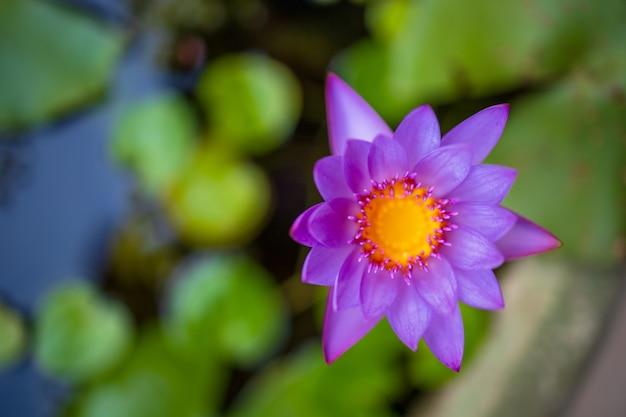 鉢植えに咲く美しい色とりどりの蓮の花のクローズアップ