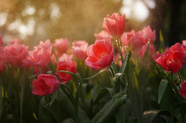 フラワーフィールドの背景に水を噴霧して夜の霧の庭で水滴と美しいコーラルオレンジチューリップの花のクローズアップ