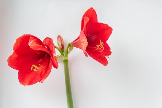 Крупным планом красивые большие красные цветы