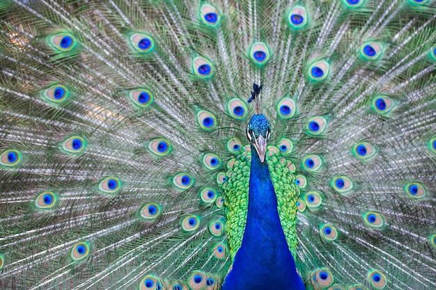 Крупным планом красивый самец павлина с перьями