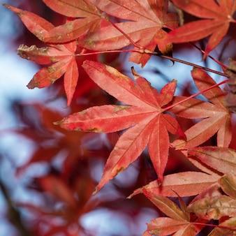 人々がスペースをコピーしない台湾の秋の晴れた日の美しいカエデの葉のクローズアップ。