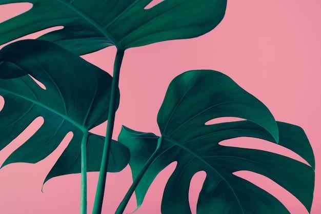 Крупный план красивых листьев монстеры